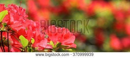 Opening Of Beautiful Red Azalea Flower In Spring Garden. Gardening Concept. Floral Background