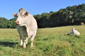 peaceful Charolais cows in a green meadow poster