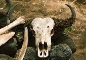 An image of a buffalo skull in Africa. poster