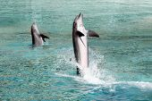 Two Bottle Nosed Dolphins are out of the water poster