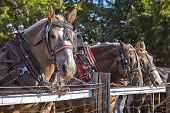 Draft horses in full harness at a country farm fair. poster