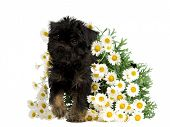 Puppy inside the bunch of Daisies, isolated on white background poster