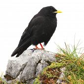 The Alpine Chough or Yellow-billed Chough (Pyrrhocorax graculus) isolated on a white background. poster