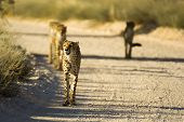 Cheetah Family walking on Dirt Road in the wild poster