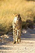 Cheetah walking on Dirt Road in Nature poster
