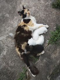 Mother Cat Breast Feeding Puppies Kittens, Nursing Puppies, Small Kittens Feeding Puppies, Drinking