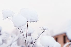 Snow Covered Dry Flower Stock Photo.snowflakes On Dry Flower, Bokeh Background. Dry Plants In Snow,