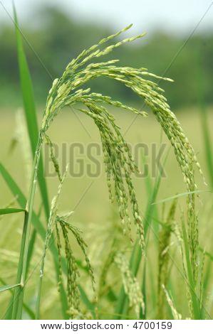 Rice Paddy Close Up