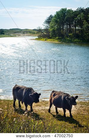 Galloway Cattle At A Beach