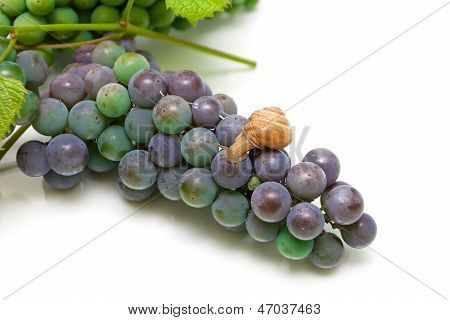 grapes and a snail. view from above. horizontal photo. poster