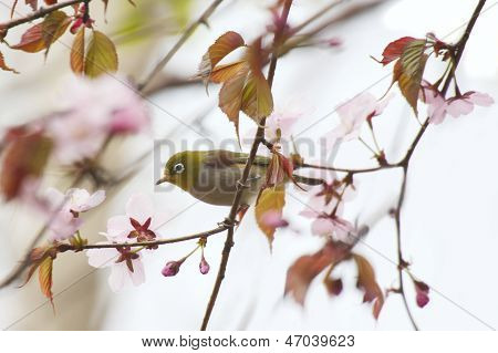White-eye bird on blooming cherry in spring on blue and flowers poster