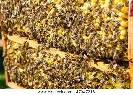 Bees on honeycomb in beehive working and collecting pollen and honey poster