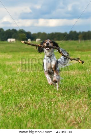 Happy dog fetching a big stick