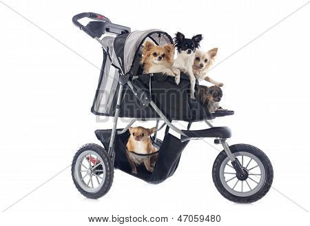 Chihuahuas In Pushchair