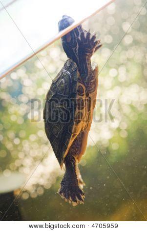 Red Ear Turtle In Aquarium