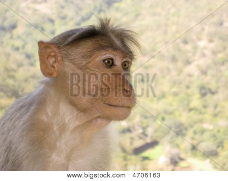 Langur Monkey In Mudhumalai Wildlife Reserve, India