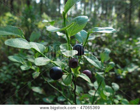 Vaccinium myrtillus.