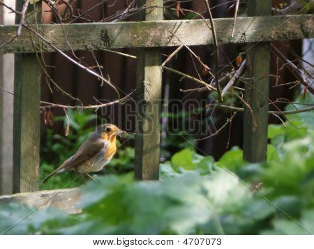 Robin Gathering For Nest