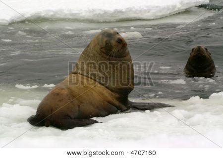 Northern Sea-lion (eumetopias Jubatus)