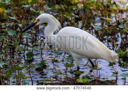 A Sharp Profile Closeup of a Wild Snowy Egret
