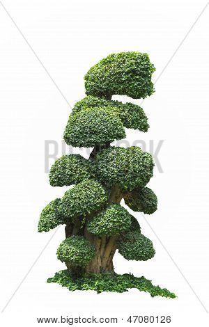 Big Fukien Tea Tree