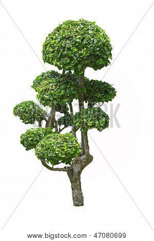 Fukien Tea Tree