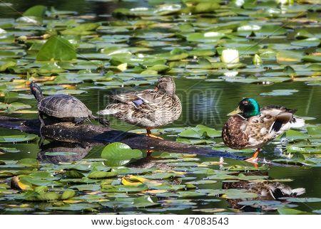 Ducks & turtle