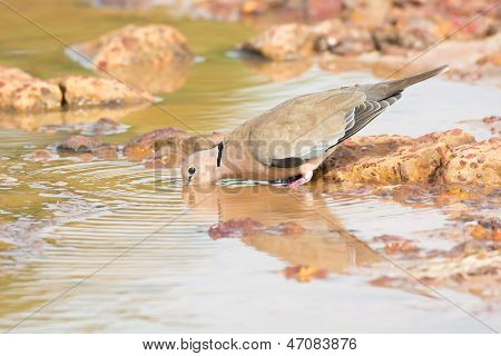 Vinaceous Dove Drinking