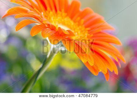 Closeup photo of orange daisy-gerbera