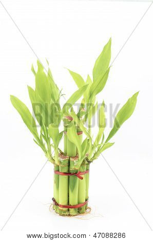 Dracaena Sanderiana Isolated On White