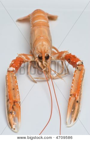Nephrops Norvegicus Or Norway Lobster 13