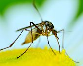 A Mosquito perched on a flower feeding. poster