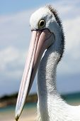 Australian Pelican against vibrant blue sky backdrop poster