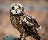A portrait of a short eared owl on a spring day. Carolina Raptor Center North Carolina poster
