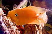 the Beautiful color parrotfish swim in aquarium poster