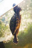 the red ear turtle swim in aquarium poster