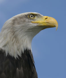 Bald Head Eagle