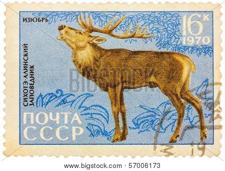 Postage Stamp Printed In Ussr Shows Image Of A Cervus Elaphus Xanthopygus,