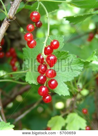 Red_currants