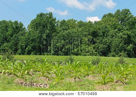 Virginian tobacco field