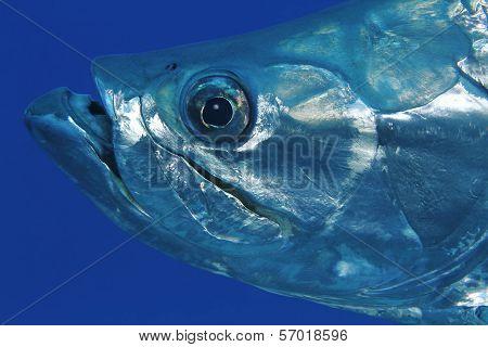 Closeup Of Tarpon - Bonaire