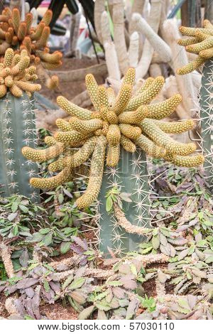 Grafting cactus growing on dried in the garden poster