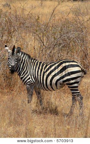 Zebra In Bush