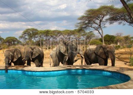 Elephants Around Swimming Pool