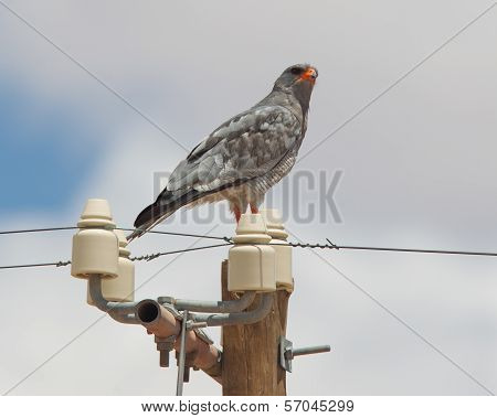 Pale-chanting Goshawk Resting On A Pole