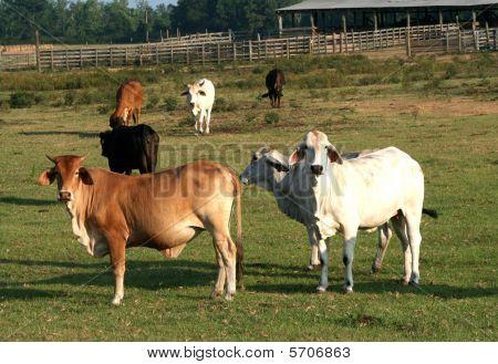 Brahma cattle