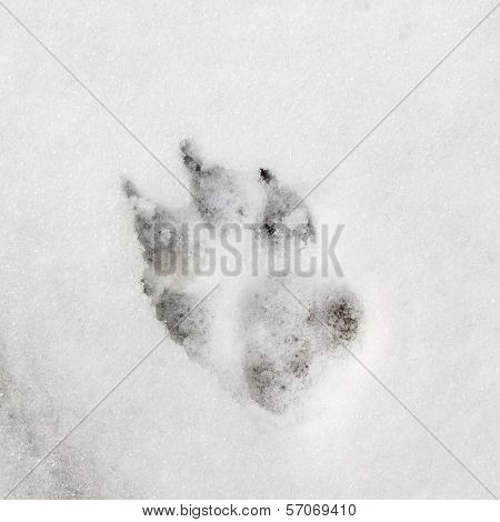 Dog Track, Footprint On The Snow