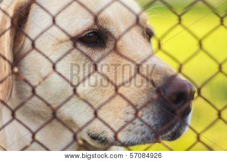 Labrador Retriever Behind Fence