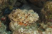 Spotted Scorpionfish (Scorpaena plumieri) Hiding on a Coral Reef Waiting to Ambush its Prey - Bonaire poster