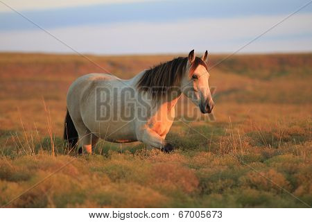 On a crisp October morning a wild buckskin mare approaches. The first golden rays of the sun illuminate her coat and the surrounding pasture. poster